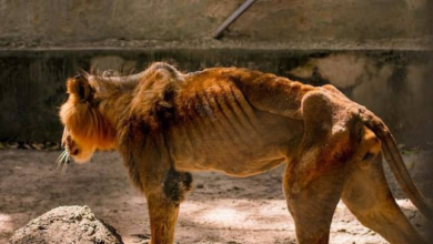 Photo of Wildlife charity begins rescue mission after visitor secretly took pictures of a starving lion and dozens of underfed animals at a Zoo in Nigeria (Photos)
