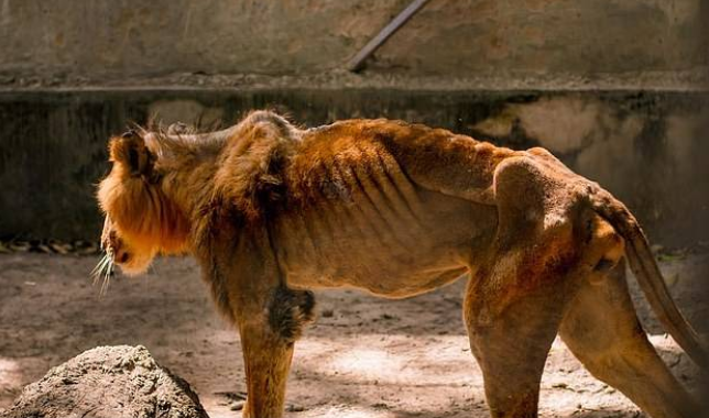 Wildlife charity begins rescue mission after visitor secretly took pictures of a starving lion and dozens of underfed animals at a Zoo in Nigeria (Photos) 9